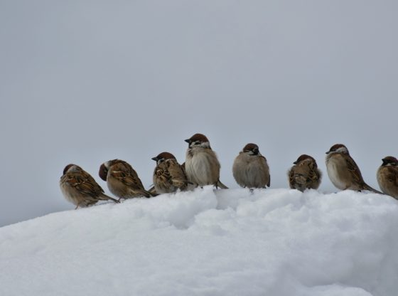 A group of sparrows huddling in the snow